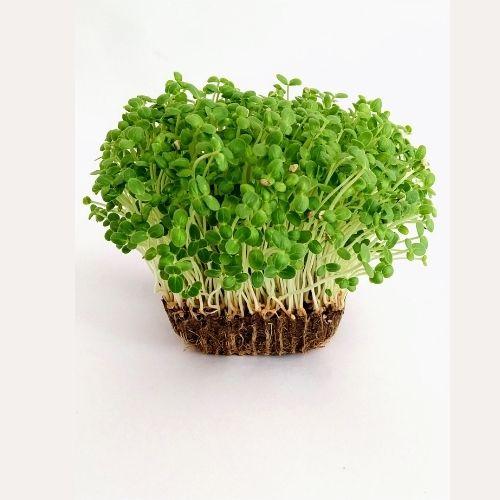 Sesame Microgreens