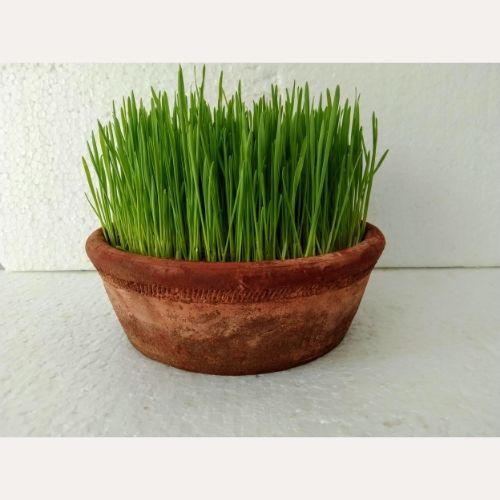 Wheat Grass- Microgreen