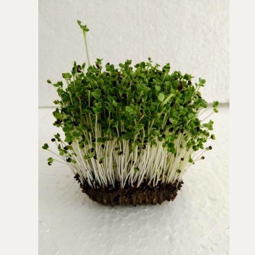 Pakchoi Microgreens