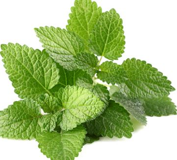 Mint (Pudina) Leaves - Not so Fresh Looking
